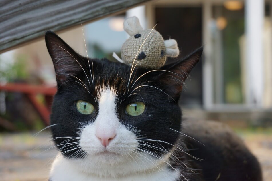A cat wearing a mouse hat