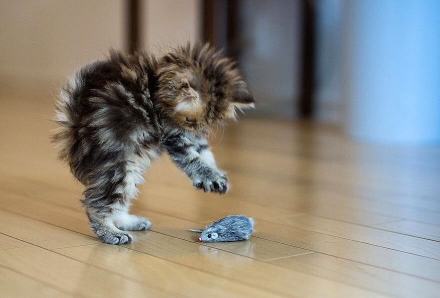 Cute baby cat playing with a toy