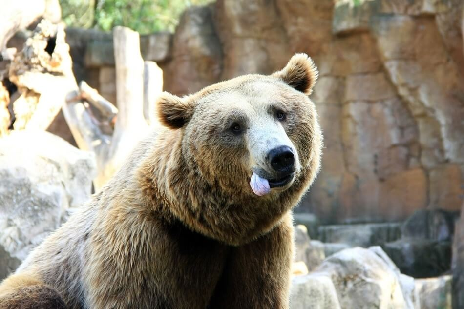 A bear with its tongue sticking out after hearing people say funny bear puns