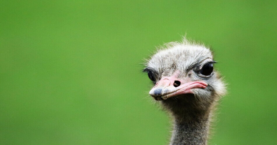 An ostrich being the perfect inspiration for funny bird puns