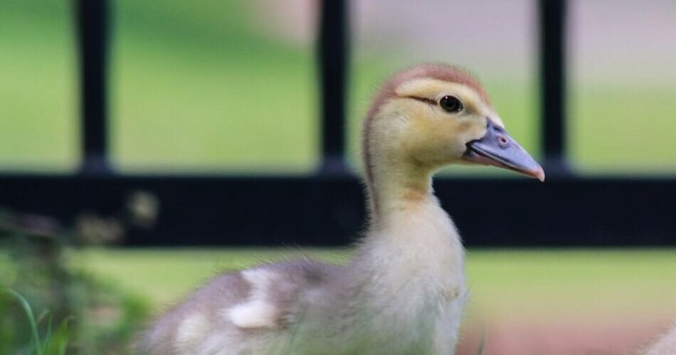 A cute baby duck to give you ideas for more puns
