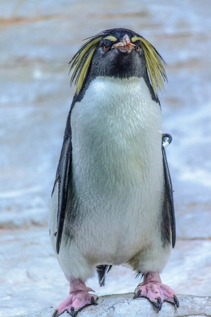 A funny looking penguin standing on ice
