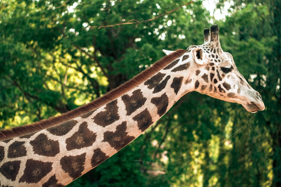Giraffe with a long neck making the photographer think of neck jokes and puns.