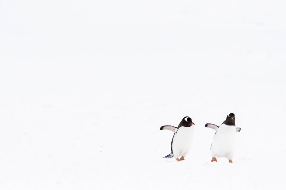 Two penguins walking and inspiring penguin jokes and puns